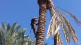 Pruning palm trees from garden