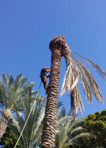 גיזום עצים ודקלים