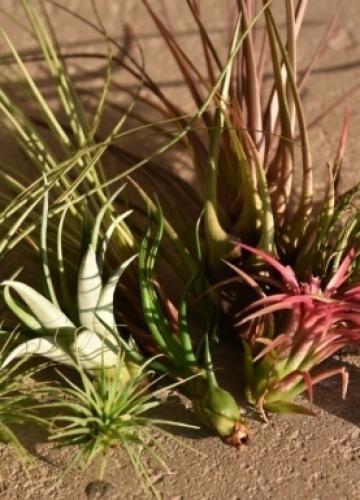 צמחי אוויר במכירה ארצית – הטרנד שכבש את ישראל